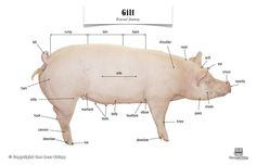 Pig (Gilt) Anatomy, Poster $7 11x17 laminated