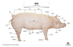 Pig (Gilt) Anatomy, Poster $7 11x17 laminated