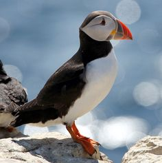Puffin - my favorite bird!
