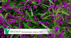 http://www.youtube.com/watch?v=BR7hcd0t9ZM  Meema™ Hardenbergia violacea is an Australian Native Shrub that flowers longer and with more flowers, is longer lived with clean crisp foliage year round, making it a tidier form of Hardenbergia. Click here for more info on Meema™ Hardenbergia   http://www.ozbreed.com.au/native-shrubs-ground-covers/meema.html