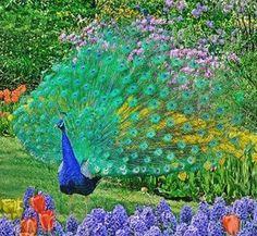 Peacock in flower garden