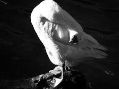 B&W Duck Whale, My Photos, Black And White, Animals, Blanco Y Negro, Animales, Black White, Animaux, Black N White