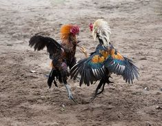 Agen sabung ayam online - Royal928 situs judi agen sabung ayam online telah menghadirkan untuk anda judi sabung ayam yang tetap bisa anda nikmati tanpa harus mengelar atau ikut serta sabung ayam konvensional. Anda bisa melakukan permainan sabung ayam tanpa perlu pergi ketempat terbuka. Rooster, Comic, Animals, Chicken, Birds, Hens, Animales, Animaux, Comic Strips