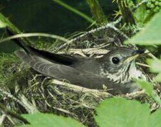 Gray cheeked thrush