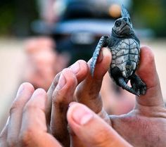 turtle-release-in-san-pancho
