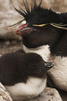 Rockhopper Penguin (Eudyptes chrysocome) and chick, Saunders Island, Falkland Islands