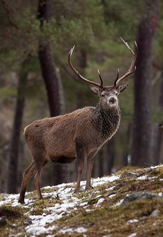 Red Deer Stag Standing Proud