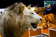 Majestic lion trophy seen during Polish Hunting Fairs - Hubertus EXPO 2015. Hunt beautiful beasts of the wild with us!