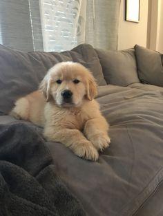 Golden retriever puppy @wheres_bash #DogSupply