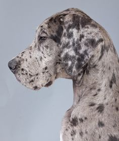 """Pennsylvania named the Great Dane its official state dog in 1967. He said, """"The physical and other attributes of the Great Dane, to wit: size, strength, beauty, intelligence, tolerance, courage, faithfulness, trustworthiness and stability exemplify those of Pennsylvania."""""""