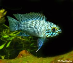 Blue Face Apistogramma