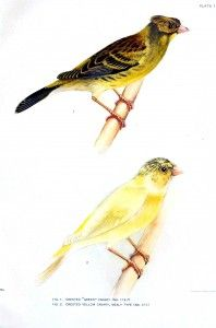 Canary songbird illustrations