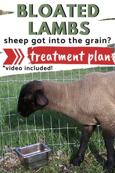 When sheep get into the grain bin, it's important to treat them immediately! Here's an easy tutorial, complete with a video on dealing with grain bloated sheep. Sheep Pen, Pet Sheep, Sheep Farm, Sheep And Lamb, Raising Farm Animals, Raising Ducks, Raising Goats, Raising Chickens, Babydoll Sheep