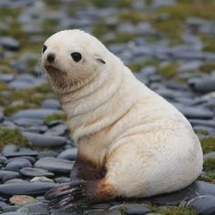 Cute Wild Animals, Cute Little Animals, Cute Funny Animals, Animals Beautiful, Animals And Pets, Cute Dogs, Cute Babies, Seal Pup, Baby Seal