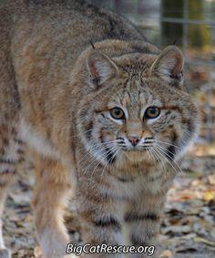 Dryden Bobcat - A hu