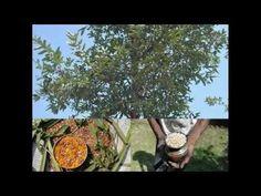 Medicinal Rice P5J Formulations for Rourea Excess: Pankaj Oudhias Medic...