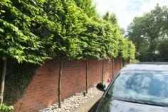 Instant Hedge - Pleached Tree Screen   Garden Projects - Tree Screening