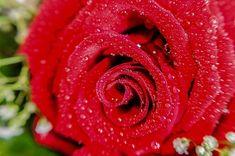 Roos met Tranen