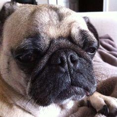 bad day #pug #furbaby