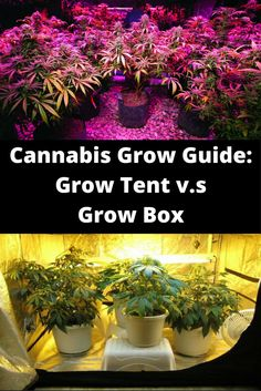 Grow Tent Vs. Grow Box Which Should You Use? Pros and Cons for Cannabis growers | Elation CBD | Pinterest | Grow boxes and Cannabis & Grow Tent Vs. Grow Box: Which Should You Use? Pros and Cons for ...