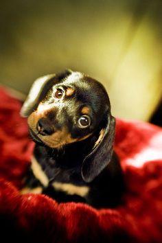 duchshund puppy cute