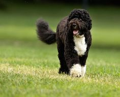 hypoallergenic dog breeds -- PORTUGUESE WATER DOG -- When President Obama went in search of a dog that wouldn't be an issue with daughter Malia's allergies, he and the First Lady decided upon this charismatic breed as, again, it produces minimal dander and hardly sheds hair.  The beautiful First Dog, Bo, is pictured here.