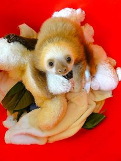 so cute.where is his eco system? Hes clean. There all cute when thier babies.so cute.where is his eco system? Hes clean. There all cute when thier babies. Cute Baby Sloths, Baby Otters, Cute Sloth Pictures, Animal Pictures, Power Animal, Hamster, Wild Creatures, Cute Little Animals, Animal Photography