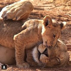 Love session between a lioness and her cub.