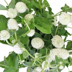 Add a delicate, whimsical touch to your bridal bouquet with white gomphrena flower! The beautiful white spherical blooms easily act as a filler flower and add extra dimension and texture to an arrangement. The flexible stemmed beauties can add romance to a wild flower inspired bouquet when paired...