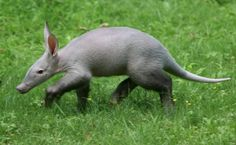 Baby aardvark Image - NYTimes.com