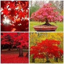 10 seeds acer rubrum, Red Maple Tree Seeds,bonsai seeds C