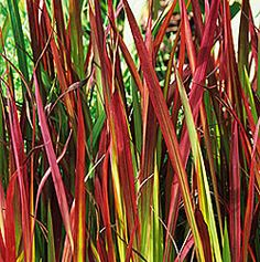 """Japanese Blood Grass 