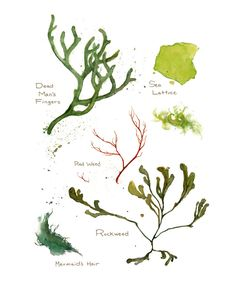 Botanical Watercolor Print of Common Seaweeds    Watercolor study of common seaweeds found along the coasts of North America. Labeled with common names. Includes Mermaids Hair, Dead Mans Fingers, Rockweed, Red Weed, and Sea Lettuce.    Archival pigment based print - matted  8x10 Print | 11x14 White Mat  Signed and dated.  Packaged in acid free sleeve with backing.