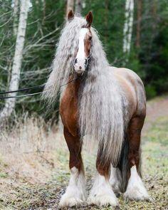 Gorgeous Gypsy Vanner