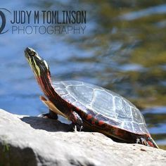 """Basking In the Sun"" by Judy M Tomlinson Photography.  My website is http://www.judymtomlinsonphotography.ca/ #printsforsale #londonontariophotographer #wildlife #turtle"