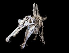 Remains of the  Spinosaurus aegyptiacus that were unearthed from Kem Kem beds in Morocco revealed that the animal is bigger than the Tyrannosaurus rex by at least 8 feet providing evidence that it could have been the largest  predatory dinosaur that existed in prehistoric times.