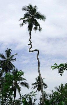 Indecisive Palm