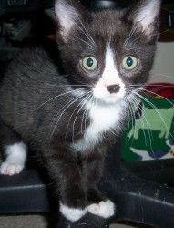 Jam is an adoptable Domestic Short Hair-Black And White Cat in Plymouth, MN. Jam Jam is an active, playful, black and white female kitten.  Jam is approximately 10 weeks old and she loves to be up hi...