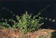 Rhynchosia edulis. Snout bean. Native herbaceous perennial shrub/vine. Full sun/part shade.