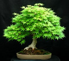 Japanese Maple Bonsai                                                                                                                                                     Mais