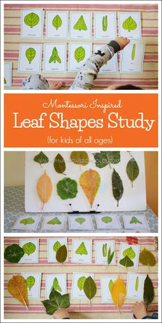 Montessori Inspired Leaf Shapes Study:can be a stand alone activity or part of the botany unit. Montessori Science, Montessori Homeschool, Montessori Elementary, Montessori Classroom, Preschool Science, Homeschooling, Montessori Kindergarten, Preschool Shapes, Nature Activities