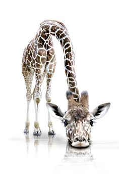 Mother And Baby Giraffe by Sarah Batalka Rice&Caricature Giraffe Art, Cute Giraffe, Giraffe Drawing, Giraffe Quotes, Giraffe Painting, Animals And Pets, Funny Animals, Cute Animals, Beautiful Creatures