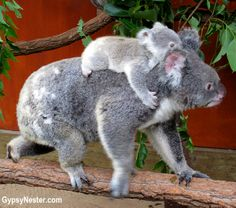 Baby koala rides on mommy's back! At @Lone (owner of Kind by Nature) (owner of Kind by Nature)