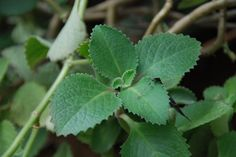 15 Plants and Herbs That Can Boost Lung Health, Heal Respiratory Infections And Even Repair Pulmonary Damage - Healthy Holistic Living Herbs For Health, Health Heal, Healing Herbs, Medicinal Herbs, Natural Medicine, Herbal Medicine, Medicine Garden, Natural Cures, Natural Healing