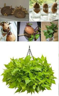 Grow A Potato Vine Plant