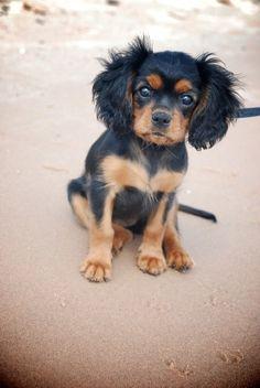 Cute Black and Tan Cavalier Pup