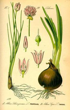 Appartenente alla famiglia delle Liliacee, l'aglio viene scientificamente chiamato Allium sativum Si pensa che questa pianta sia originaria dell'Asia centrale, e che sia stata introdotta in Europa …