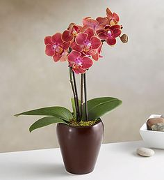 Mini Espresso Orchid