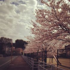 Sakura : Lots of cherry blossoms near my house :-)