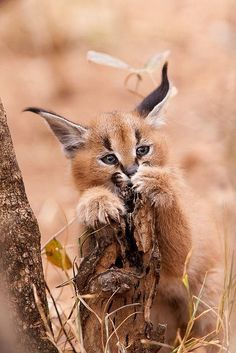 """The caracal is a medium sized cat which it spread in West Asia, South Asia, and Africa. The word Caracal is from Turkey """"Karakulak"""" which means """"Black Ears"""". Here is all about caracal as a pet. Caracal Kittens, Serval, Cats And Kittens, Baby Caracal, Lynx Kitten, Small Wild Cats, Big Cats, Cute Cats, Animal Gato"""